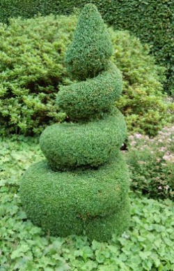 sprial boxwood shrub