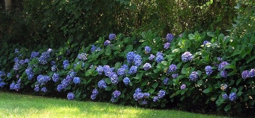 Hydrangea plant guide care growing tips and varieties of hydrangeas